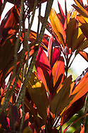 Brightly coloured  Cordyline leaves in the Sunnyside Garden, St. George's, Grenada, West Indies, the Caribbean