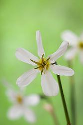 Narcissus 'Keats'