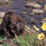 Beaver, (Castor canadensis) Young beaver grooming self. Montana. Captive Animal.