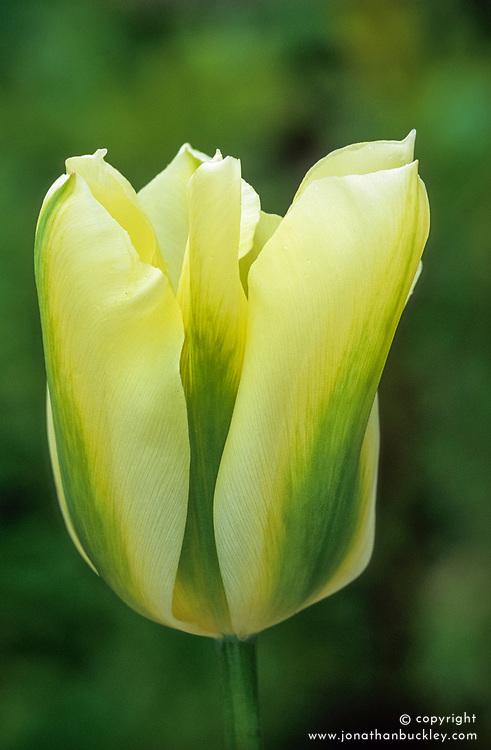 Tulip 'Spring Green'