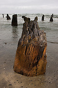 "Coastal erosion uncovers 2000 year old tree stumps, called the ""Ghost Forest"" near Neskowin, along the Oregon coast. The stumps were once part of an inland forest that was eventually flooded by the surf and preserved under the sand."