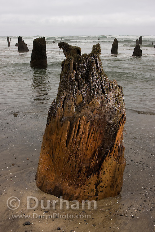 """Coastal erosion uncovers 2000 year old tree stumps, called the """"Ghost Forest"""" near Neskowin, along the Oregon coast. The stumps were once part of an inland forest that was eventually flooded by the surf and preserved under the sand."""