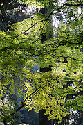 A tall tree looms behind a canopy of Japanese maple leaves in Washington Park Arboretum, Seattle, Washington, USA. Washington Park Arboretum is a joint project of the University of Washington, the Seattle Department of Parks and Recreation, and the nonprofit Arboretum Foundation.