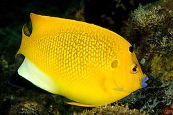 Apolemichthys trimaculatus, Dreipunkt-Kaiserfisch, Threespot angelfish, Tulamben, Bali, Indonesien, Indopazifik, Indonesia, Asien, Indo-Pacific Ocean, Asia