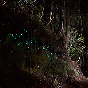 Damian Johansen shows the 'Night Glowworms' during a night walk in the Coromandel Forest with Wincorp Adventures. Coromandel, New Zealand, 1st December 2010. Photo Tim Clayton