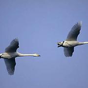 Whooper Swan, (Cygnus cygnus)  On Lake Kussharo. Japan.