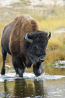 American Bison Bison bison crossing river Yellowstone National Park Wyoming USA