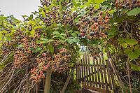 A blackberry bush laden with fruit drapes over a garden gate.