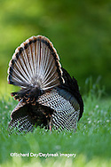 00845-07018 Eastern Wild Turkey (Meleagris gallopavo) gobbler strutting in field, Holmes Co., MS