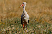 White stork (Ciconia ciconia) on the ground. The white stork is found in parts of Europe and southwestern Asia, and is a winter migrant to Africa and southern India. Photographed in Israel in Spring