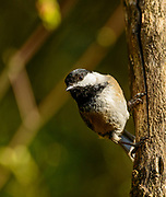 Black-capped Chickadee prepares to fly from perch.
