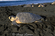 female olive ridley sea turtle on nesting beach, epidochelys olivacea, tangled in fishing line, Playa Ostional, Costa Rica ( Pacific )