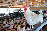 Poultry breeding farm. Rooster roosted in a coop. Photographed in Israel