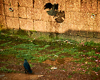 House Crow. Yangon Field Trip. Image taken with a Nikon 1V3 camera and 10-30 mm lens (ISO 400, 20 mm, f/4.8, 1/320 sec)