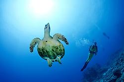 Eretmochelys imbricata, Echte Karettschildkröte am Korallenriff, Hawksbill Sea turtle in coralreef, Paradise Riff, Rotes Meer, Ägypten, Paradise Reef, Red Sea, Egypt