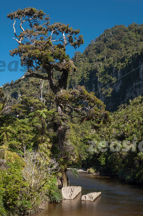 The forest in the Pororari River Gorge, Westcoast New Zealand.
