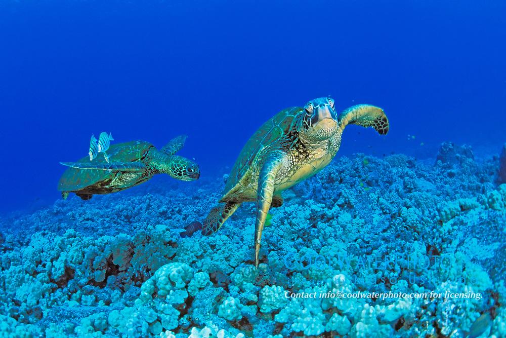 green sea turtles at cleaning station, Chelonia mydas, Kona, Big Island, Hawaii, Pacific Ocean
