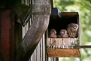 Kestrel (Falco tinnunculus) juveniles in nestbox with live webcam. Arne, Dorset, UK.