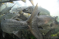 School of Lake Whitefish<br />