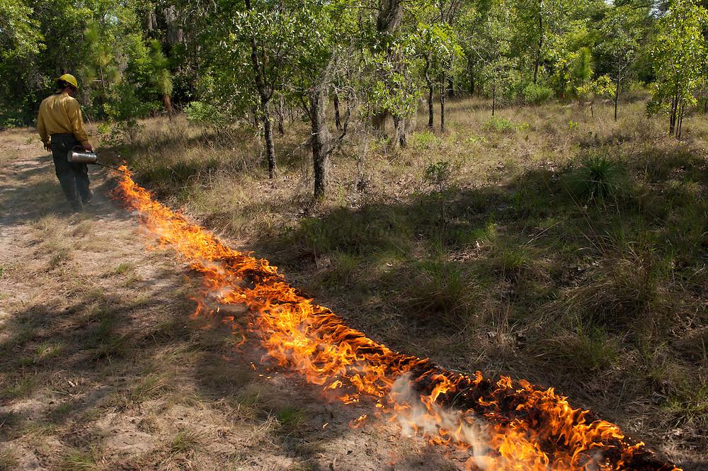 Prescribed Burn in longleaf pine forest.<br /> Brannon Walker Knight<br /> The Orianne Indigo Snake Preserve<br /> Telfair County, Georgia<br /> USA