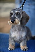Miniature wire-haired dachshund at a dog show. The wire-haired dachshund, the last to develop, was bred in the late 19th century. There is a possibility the wire-haired dachshund was a cross between the smooth dachshund and various hard-coated terriers and wire-haired pinschers,