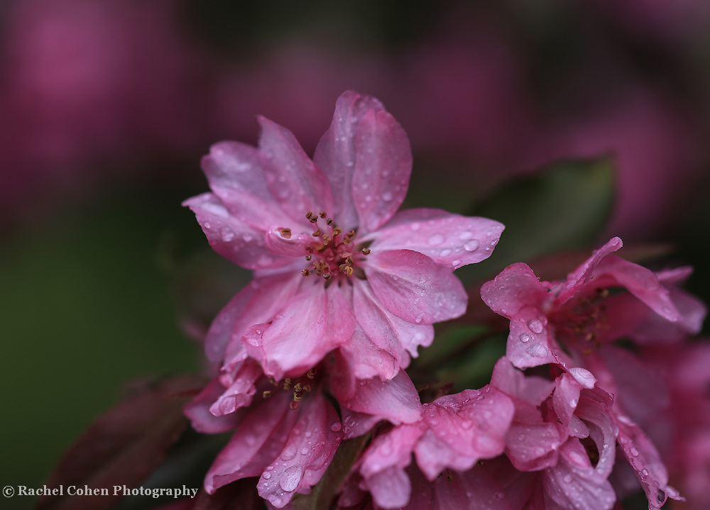 """""""Rainy Day Pink""""<br /> <br /> Raindrops on beautiful dark pink blossoms on a dark and rainy spring morning."""