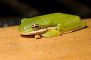 Monday April 16, 2007<br /> American Green Tree Frog<br /> Hyla cinerea<br /> Image available in Canon Camera Raw, CR2 format, please contact me for high res files.  <br /> Photos by Bryan Rinnert