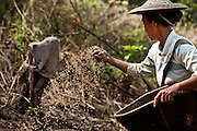 A woman plants rice in the Naga Hills, where there is no farm machinery.