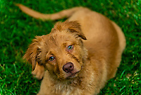 An Australian Shepherd/Golden Retriever mix Puppy, Littleton, Colorado USA.
