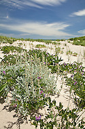 Wild peas and dusty miller bloom in June at Nauset Beach in Orleans.