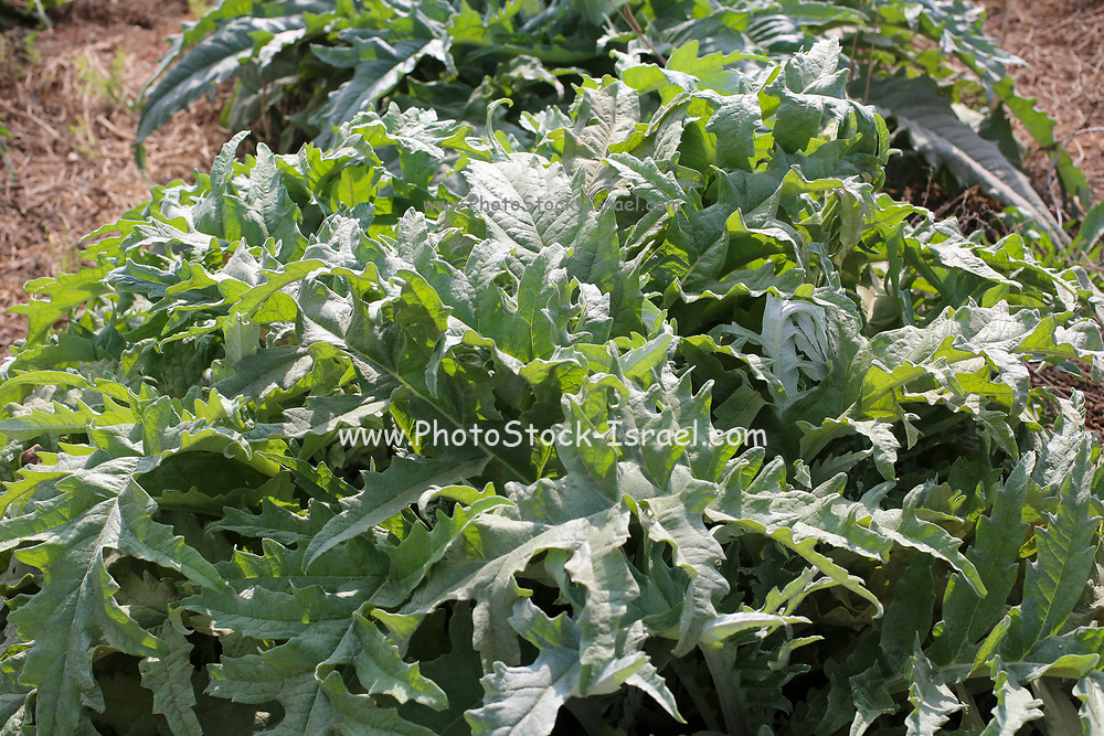 A field planted with domesticated gundelia AKA Tumble Thistle (Gundelia tournefortii) Used in the Arab cuisine as a herb and vegetable. Pollen from this plant was found on the the Shroud of Turin. Some scholars now believe that this plant was the source of the Thorn crown