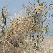 cheetah on a lookout