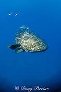 Goliath grouper or jewfish, ( approximately 350 lbs. )<br /> Epinephelus itajara,  Thunderbolt Wreck<br /> Marathon, Florida ( Western Atlantic Ocean )