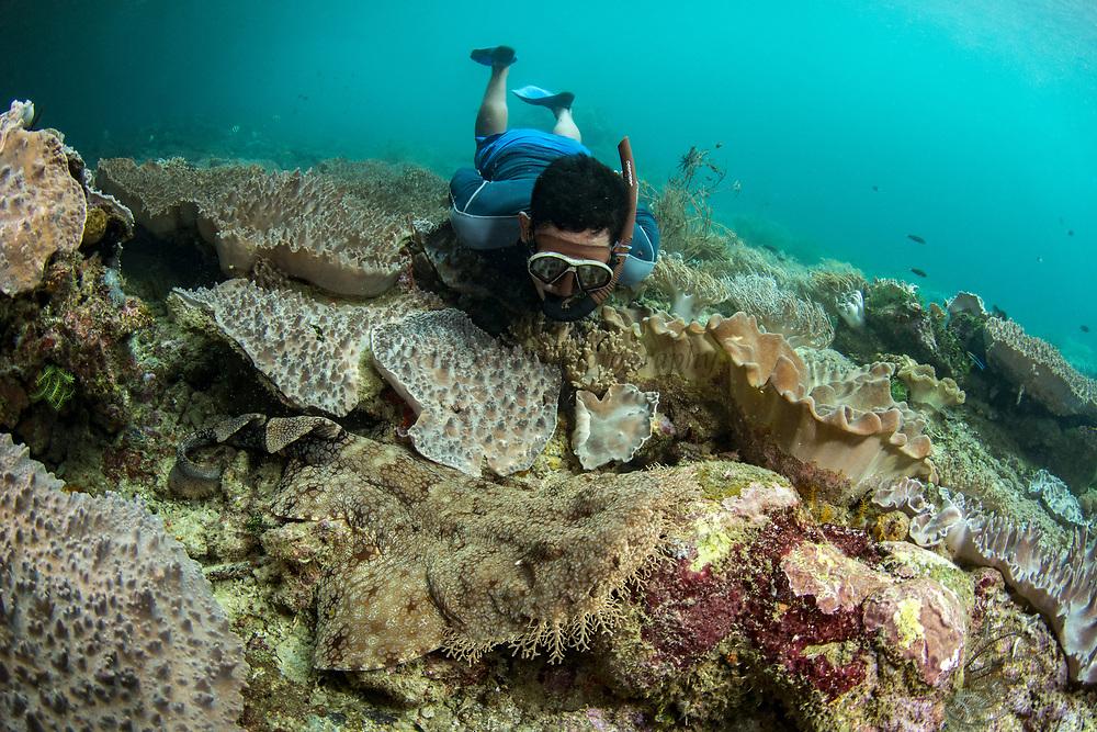 Tasselled Wobbegong (Eucrossorhinus dasypogon)<br /> Raja Ampat<br /> West Papua<br /> Indonesia<br /> & snorkeler