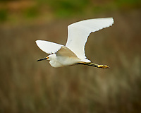 Snowy Egret in Flight. Black Point Wildlife Drive, Merritt Island National Wildlife Refuge. Image taken with a Nikon D3s camera and 70-200mm f/2.8 lens with a 2.0 TC-E III teleconverter (ISO 200, 400 mm, f/5.6, 1/320 sec).
