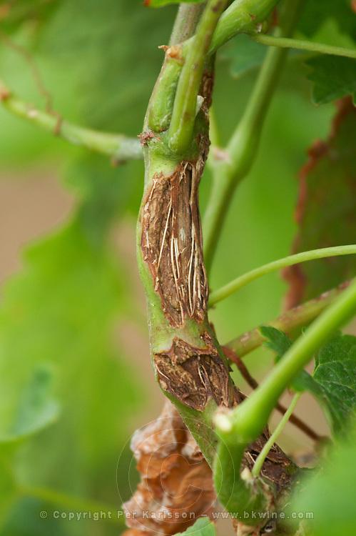 Vine damaged by hail, branches and wood hurt chateau trottevieille saint emilion bordeaux france