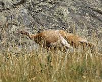 Wild Turkey (Meleagris gallopavo). Moraine Park. Rocky Mountain National Park, Colorado.Image taken with a Nikon D2xs camera and 80-400 mm VR lens.