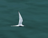 Common Tern (Sterna hirundo). Viewed from the deck of the MV Explorer. Image taken with a Nikon Df camera and 70-200 mm f/4 VR lens.