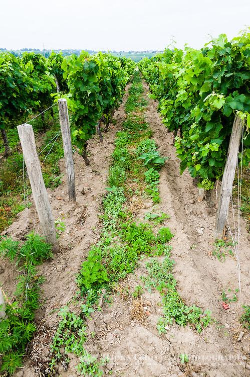 France, Saint-Émilion. Vineyard just outside the town.