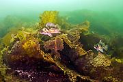 A Copper Rockfish, Sebastes caurinus, swims among the kelp offshore Nanaimo, Vancouver Island, British Columbia, Canada
