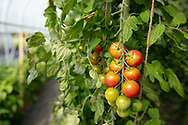 Cherry tomatoes on the vine in a greenhouse, red, green