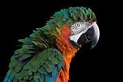 Harlequin Macaws are a a beautiful hybrid parrot only produced in captivity. Chico has a flair for speaking Spanish and English, and he adores Latino children.