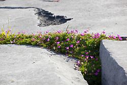 Bloody Cranesbill growing amongst cracks in limestone rocks at the Burren, Ireland. Geranium sanguineum
