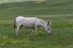 Burro, donkey or ass is a domesticated member of the horse family, Equidae