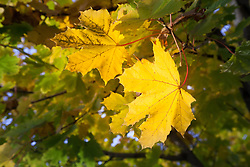 Autumn maple leaves yellow detail close up