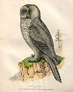 Strix nebulosa (Great Grey Owl) color plate of North American birds from Fauna boreali-americana; or, The zoology of the northern parts of British America, containing descriptions of the objects of natural history collected on the late northern land expeditions under command of Capt. Sir John Franklin by Richardson, John, Sir, 1787-1865 Published 1829