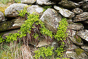 Close up of plants growing in dry stone wall, Lake District national park, Cumbria, England, UK