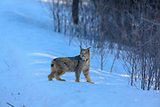 Adult Canadian lynx (Lynx canadensis) hunting in Minnesota.