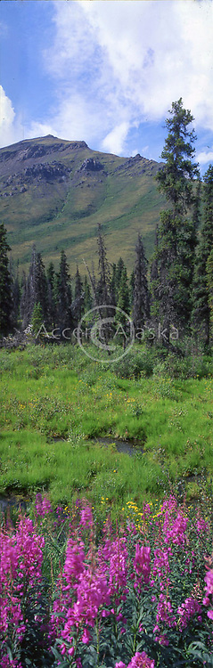 Canada. Yukon Territory. Fireweed blossoms above North Klondike River with distant Tombstone Mountain north of Dawson City.