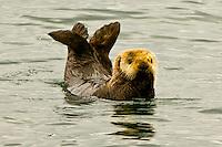 Sea otter frolicks in the waters of Southeast Alaska near Sitka.